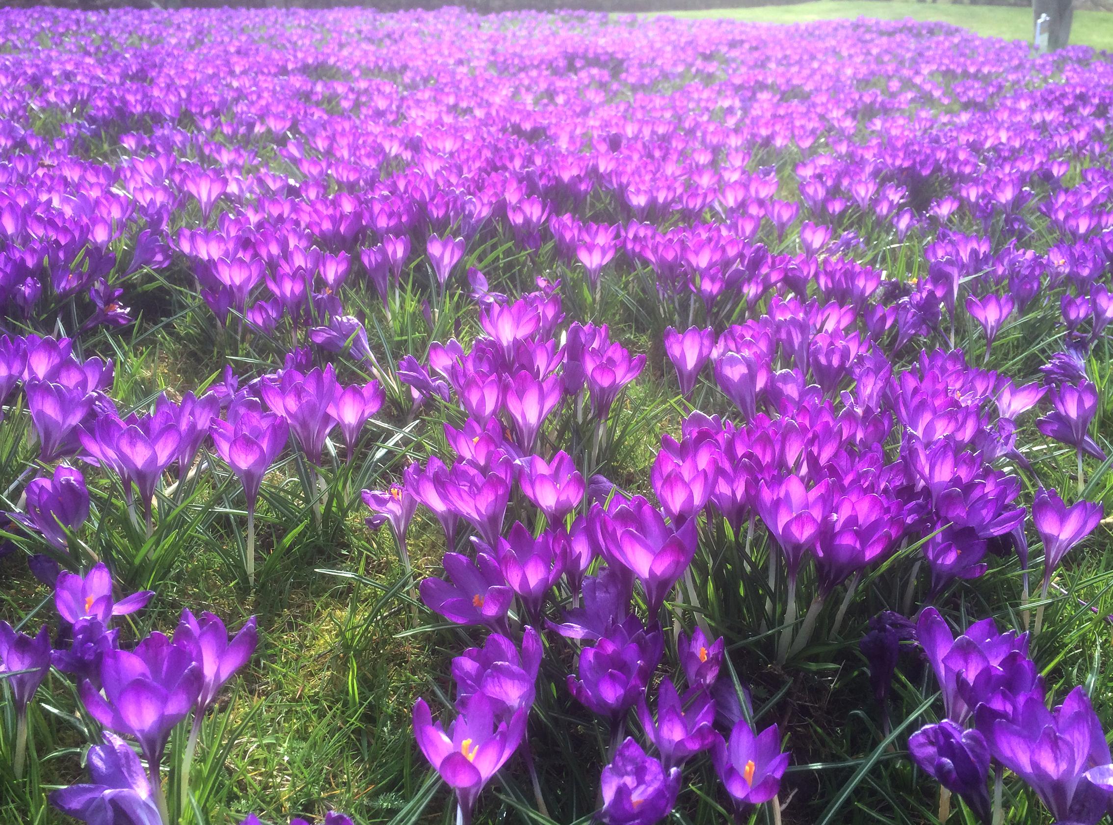 Photograph of a beautiful sea of purple crocuses